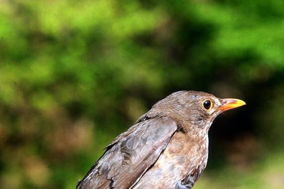 nombres-pájaros-hembra