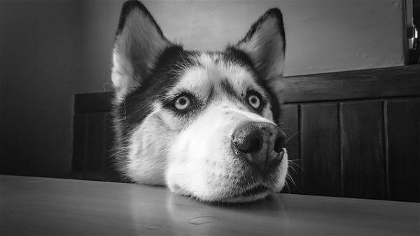 Nombres-para-perros-husky-opt